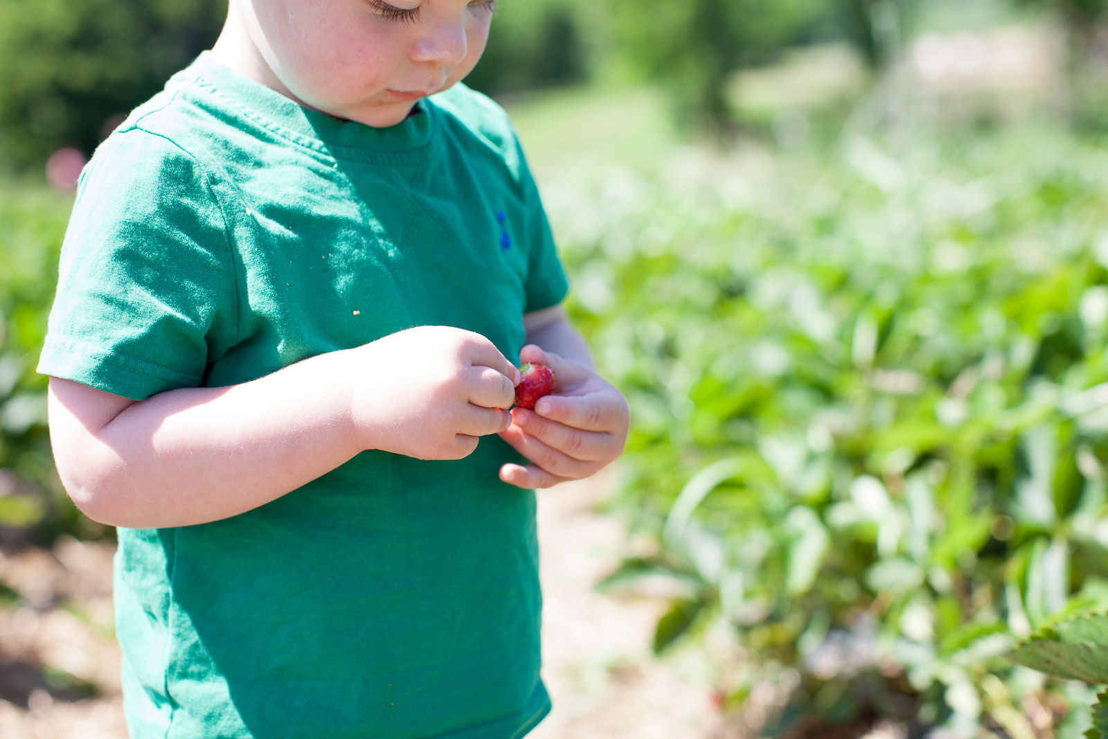 freshkill-farm-zbior-truskawek-w-usa-robertiaga-3