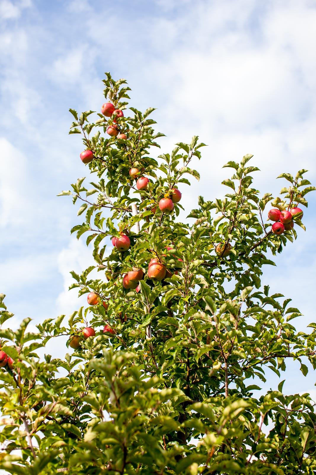 fishkill-farm-applepiking-2016-robertiaga-4