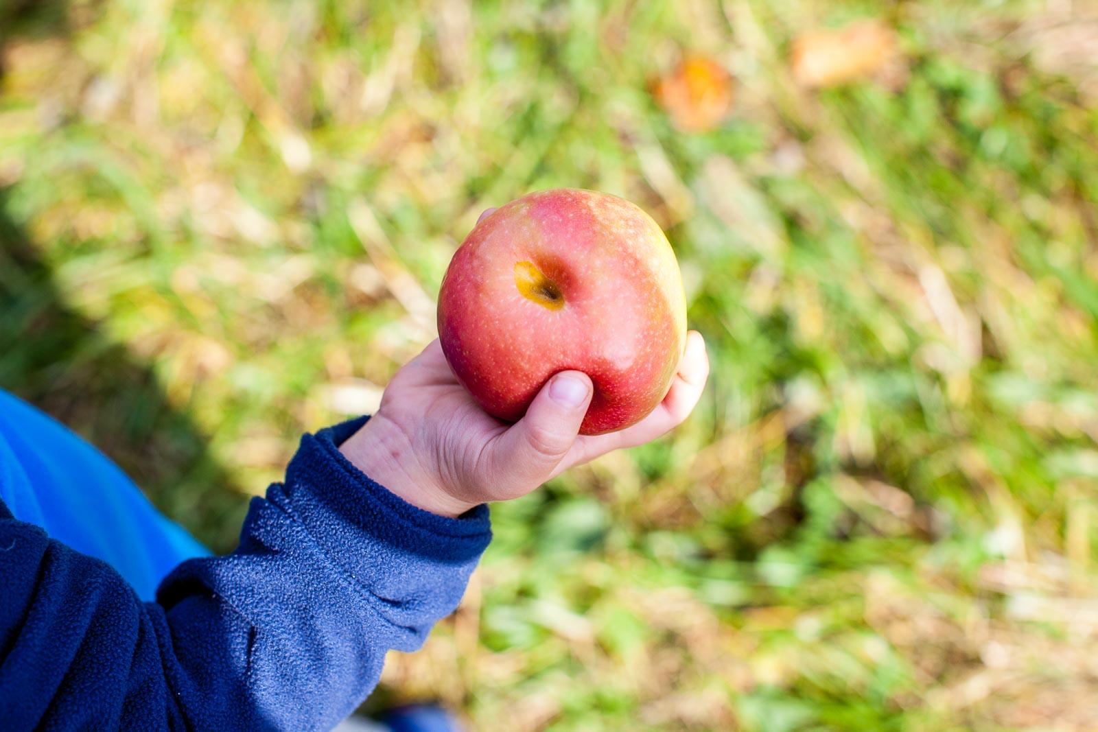fishkill-farm-applepiking-2016-robertiaga-5